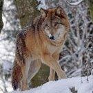 Wolf5002